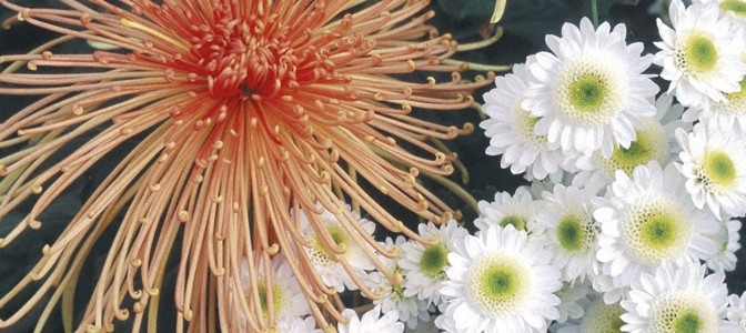 A Bit of Chrysanthemum History
