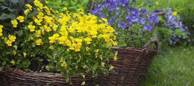 February Flower of the Month – Viola