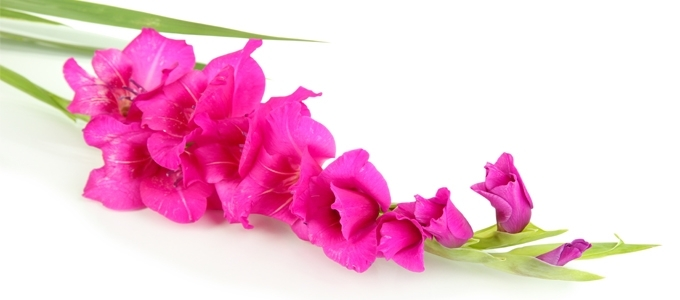 August Flower Of The Month Gladiolus