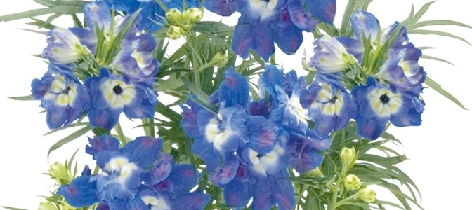 July Flower of the Month – Larkspur