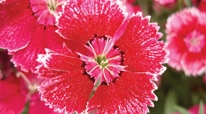 January Flower of the Month – Carnation (Dianthus caryophyllus)