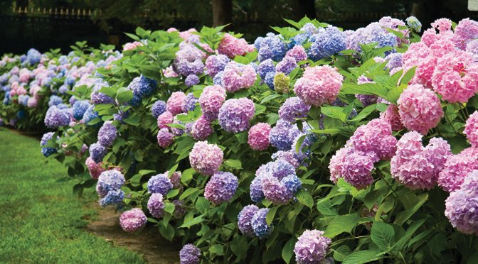 Flowering Shrubs - Copia Home & Garden