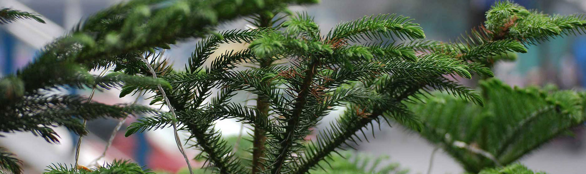 Houseplant of the Month: Norfolk Island Pine - Copia Home ... on norfolk pine plant, norfolk pine growth rate, norfolk pine care, norfolk pine watering,